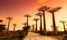 Aleja Baobabów na Madagaskarze