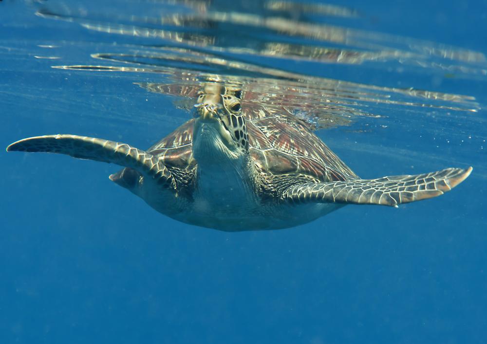 Żółw przy wyspie Bunaken